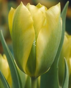 Green tulip bloom