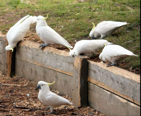 Sulphure crested cockatoos damaging retaining walls.