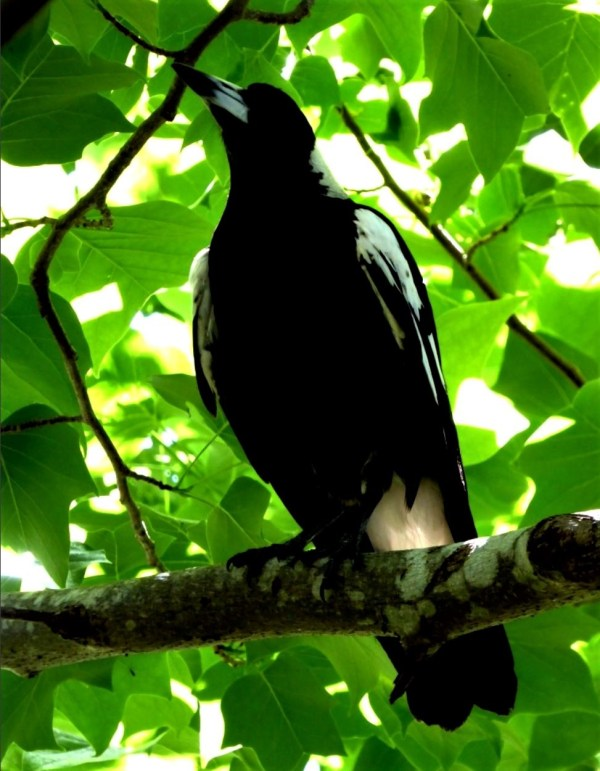 Currawong in the tulip tree canopy.