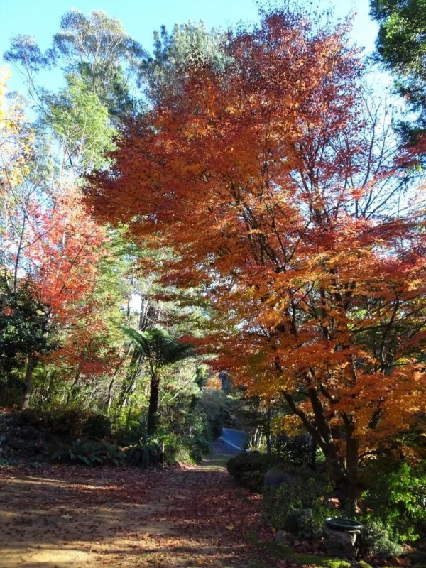 Maples at The Gums Blackheth