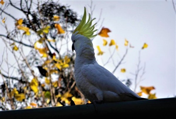 Cockatoo with crest raised