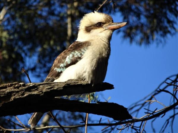 Kookaburra in the gum tree.