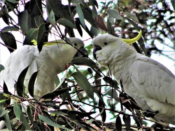 Cockatoos in gum tree.