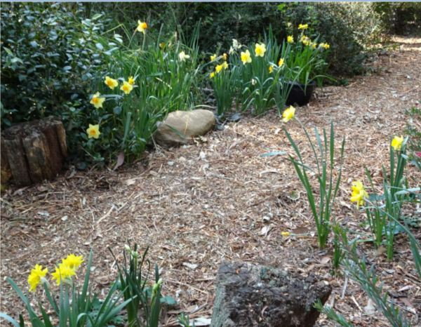 Spring bulbs bordering woodland pth