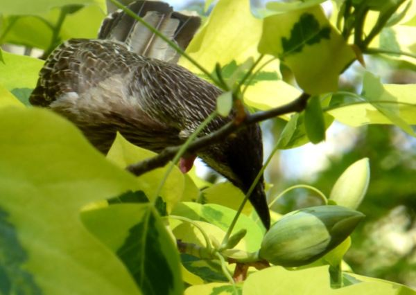 Wattle birds visiting a tulip tree flower.