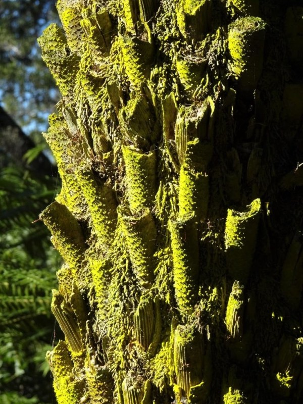 Sunlight on a tree fern trunk