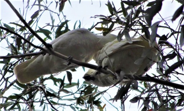 Parent cockatoo preening chick