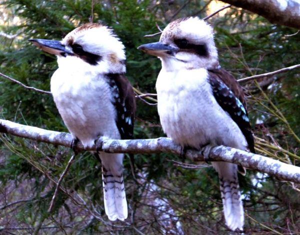 Kookaburra pair.