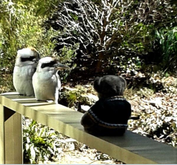 Kookaburras and Editor Des