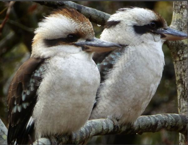 Kookaburra couple.