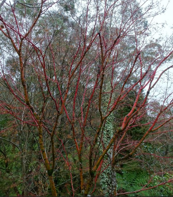 Coral maple