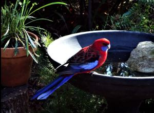 Crimson rosella in morning light.