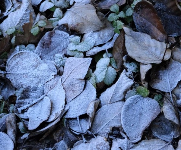 Frost covered leaves