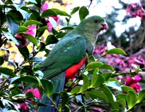 King parrot in camellia