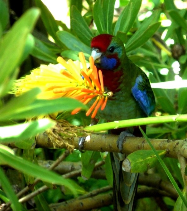 Crimson rosella sipping red hot poker