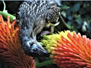 Wattlebird sipping red hot poker nectar