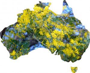Austrlia's Floral Emblem. Golden Wattle, Acacia pycnantha.