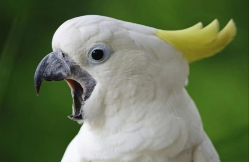 Sulphur crested cockatoo. Every builder dreads his vandalism.