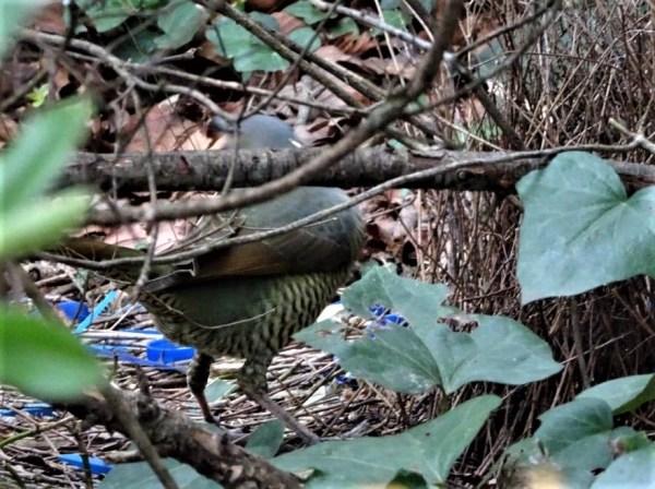 Female satin bowerbird