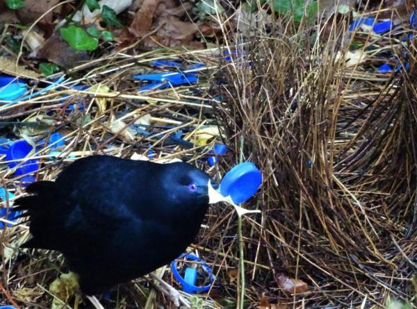 Satin bowerbird displaying