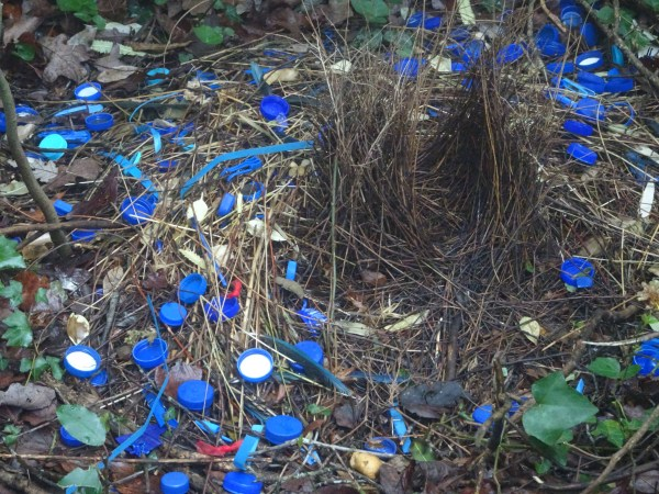 Red treasures added to bowerbird's bower.