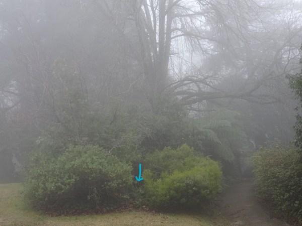 Great spot for a satin bowerbird's bower.