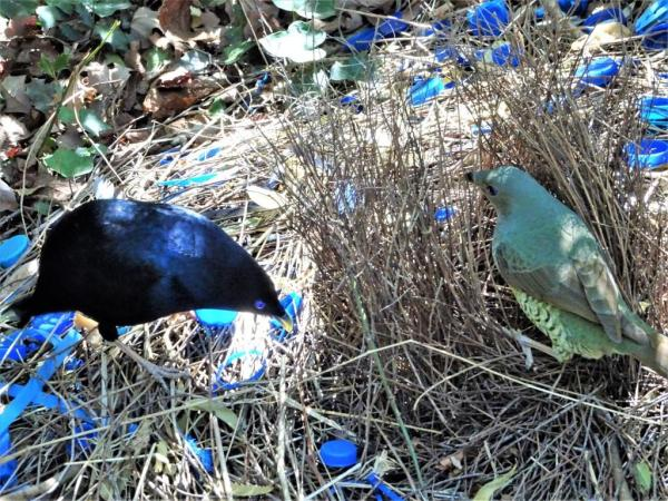Satin bowerbird pair