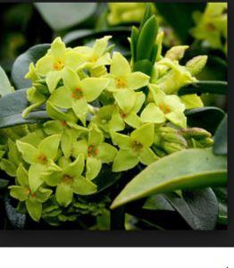 Yellow daphne