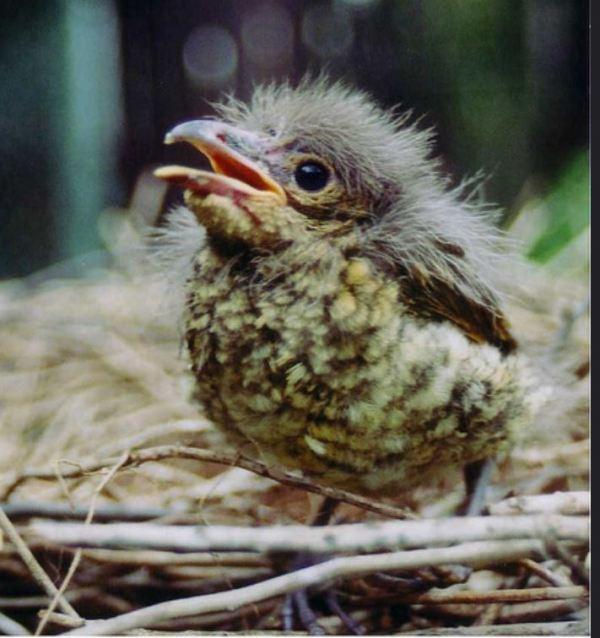 Stin Bowerbird chick.