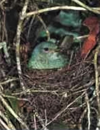Bowebird in nest
