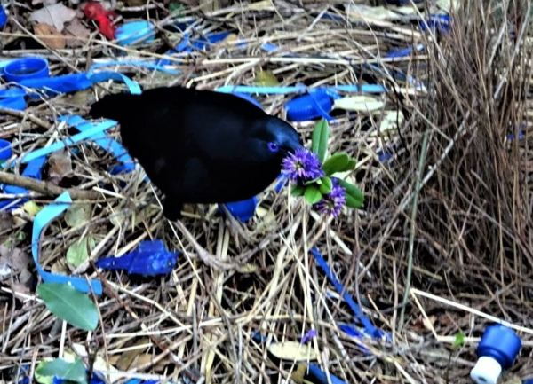 Bowerbird with hebe flower.