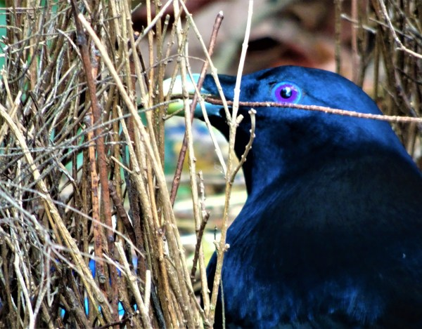 Satin bowerbirds repairing bower