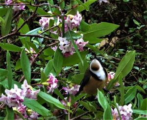 Eastern spinebill in daphne