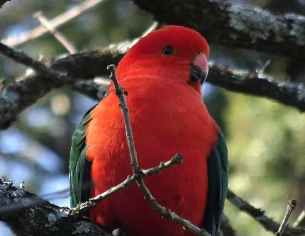 King parrot.