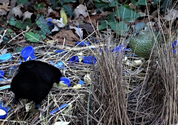 Satin bowerbirds