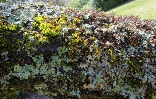 Lichen on cherry tree brnch.