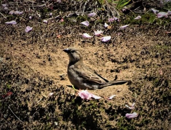 Dust bath for a sparrow