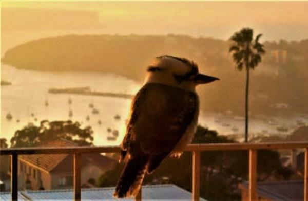 Kookaburra at dawn in Sydney