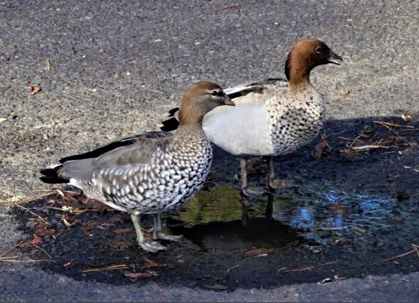 Wood ducks in a puddle.