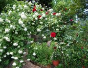 Arch of red and white roses