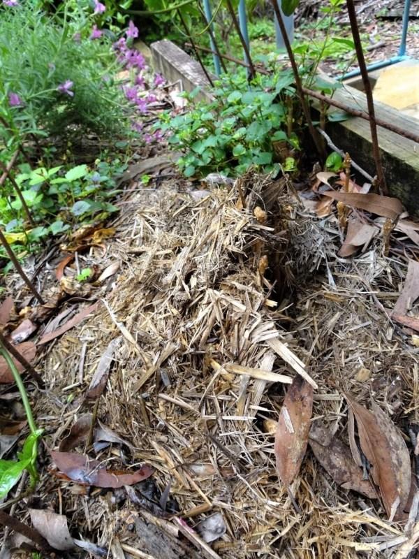 Australian orchid Cinnamon Bells pushing up through straw mulch.