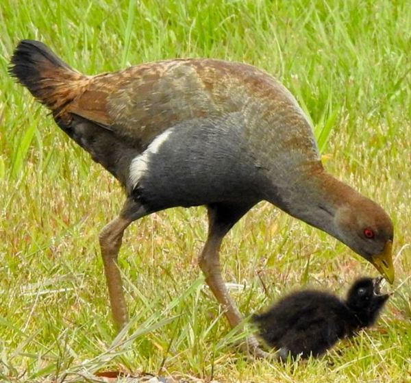 Tasmanian Native Hen with chick