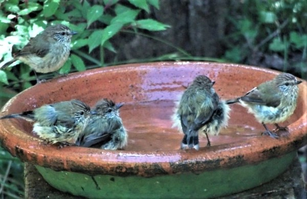 Bathing thornbills.
