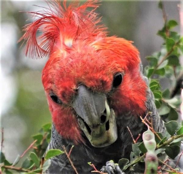 Male gang-gang cockatoo.