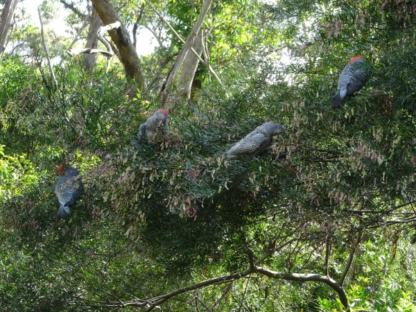 Gang-gans feeding in acacia trees.