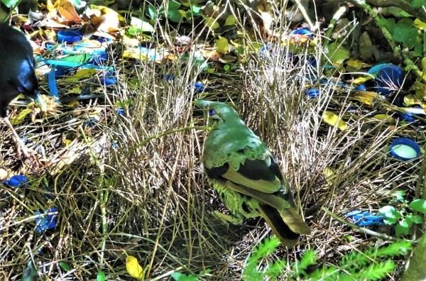 Juvenile male bowerbird visitng adult's bower for tutoring.