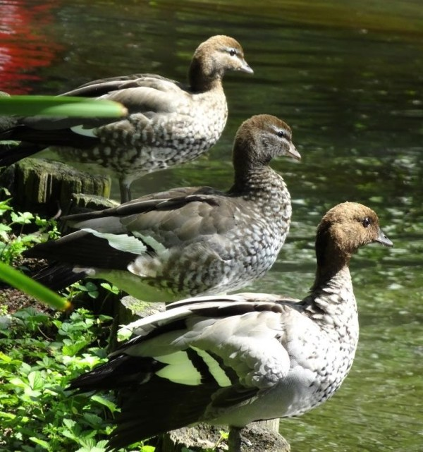 Wood ducks at Blackheath duck pond.