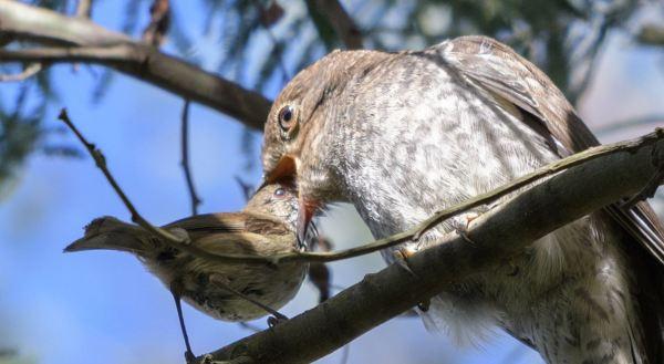 Brown thornbill feeding cuckoo chick.