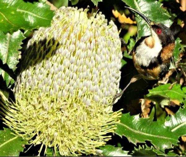 Eastern spinebill feeding on banksia serrata.