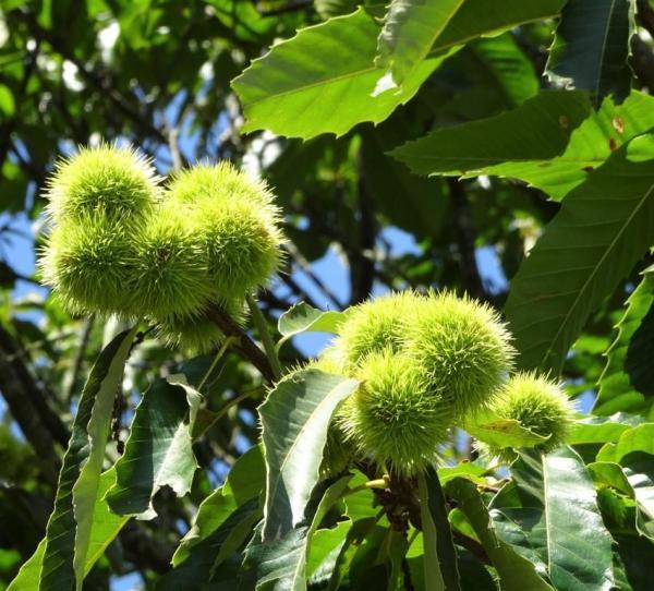 Spanish chestnuts.